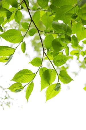 Groene voorjaar verlaat geïsoleerd op witte achtergrond