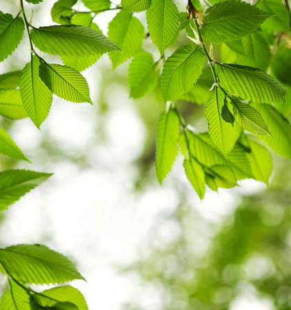 elm: Green spring elm leaves with copy space