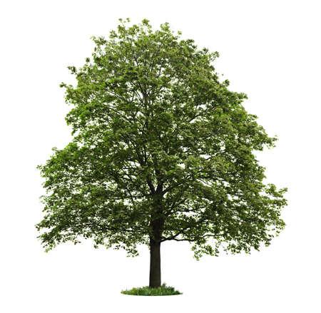 白い背景で隔離の緑の葉を持つ単一のカエデの木