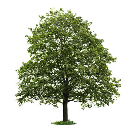 feuille arbre: �rable unique avec des feuilles vertes, isol� sur fond blanc Banque d'images