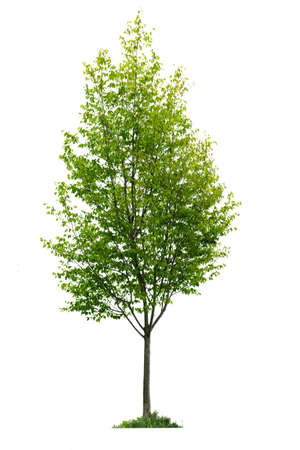 Single young tree with green leaves isolated on white background photo
