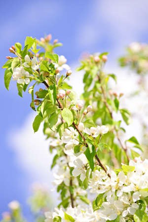 Blooming apple tree branches in spring orchard photo