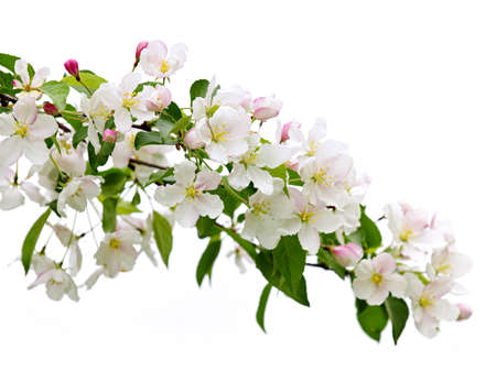 Blooming apple tree branch isolated on white background Stock Photo - 7305357