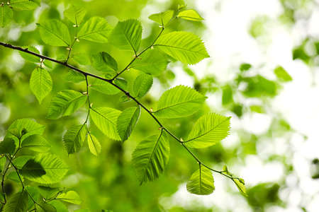 elm: Green spring elm leaves  in clean environment