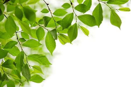 bladeren: Groene lente verlaat geïsoleerd op witte achtergrond