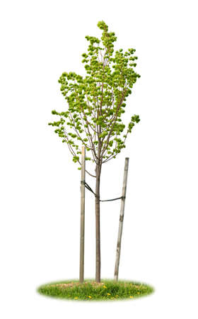 Young linden tree held with wooden stakes isolated on white background photo