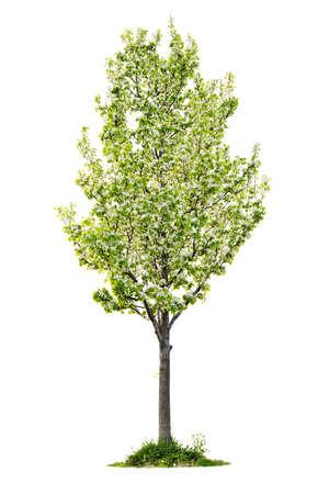 Enkele jonge bloeiende perenboom geïsoleerd op witte achtergrond  Stockfoto