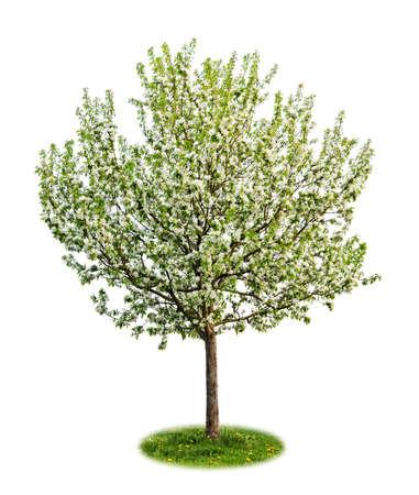albero di mele: Albero di mele singolo giovane fioritura in primavera isolato su sfondo bianco