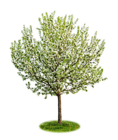 flourishing: Single young flowering apple tree in spring isolated on white background