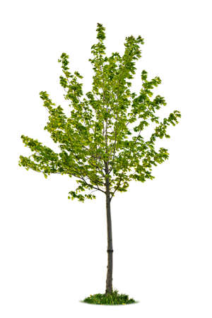 Single maple tree with green leaves isolated on white background