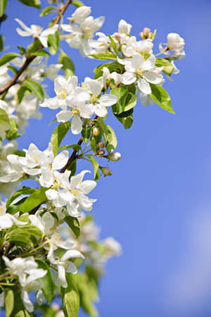 blooming: Blooming apple tree branches in spring orchard