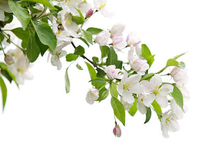 botanical branch: Blooming apple tree branch isolated on white background