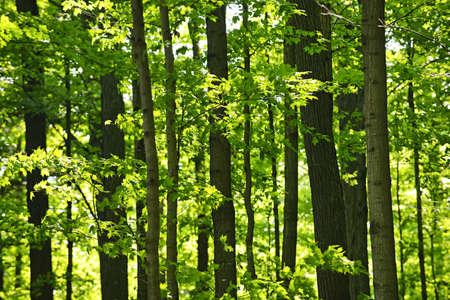 Landschaft von üppigen jungen grünen Wald mit Ahornbäume  Standard-Bild - 7372927