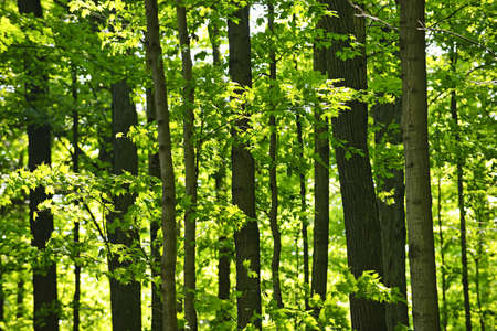 arboles frondosos: Paisaje de exuberante bosque verde joven con �rboles de arce