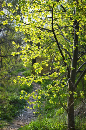 Hiking trail on a sunlit forest path in spring with young linden tree photo