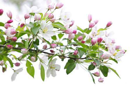 Bloeiende appel boom tak geïsoleerd op witte achtergrond  Stockfoto - 7372933