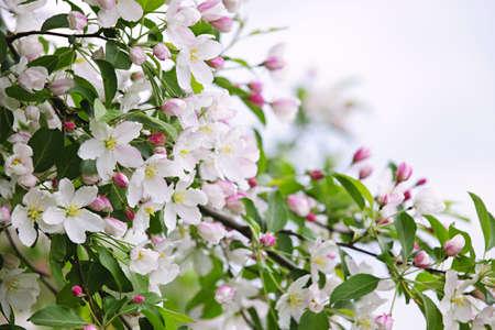 arbol de manzanas: Florecimiento ramas de �rboles de manzana en el huerto de primavera