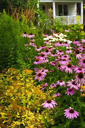 Residential landscaped garden with purple echinacea coneflowers and plants photo