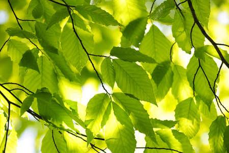 backlit: �rbol de primavera verde deja en segundo plano de sol, natural