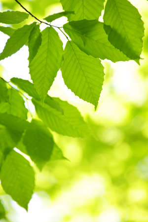 backlit: Hojas de �rbol verde primavera en medio ambiente limpio, natural de fondo
