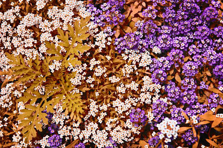 ground cover: Colorful white and purple rock cress ground cover plants in a garden