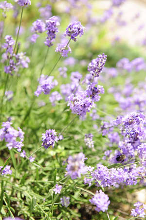 Botanical background of blooming purple lavender herb in a garden photo