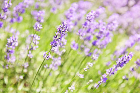 medicinal: Botanical background of blooming purple lavender herb in a garden