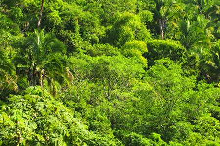huge tree: Background of lush tropical jungle at Pacific coast of Mexico