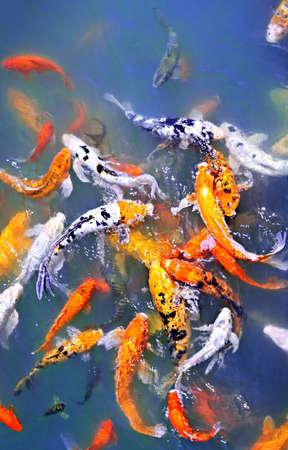 연못의 표면에 다채로운 잉어 물고기