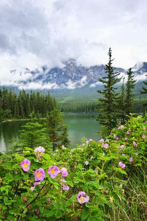 wild  rose: Fiori rose selvatiche a piramide Lake nel parco nazionale di Jasper, Canada