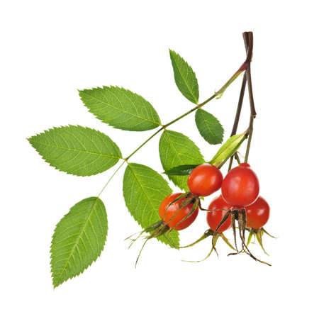 Rose branch with rosehips isolated on white background