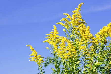 Blooming goldenrod plant on blue sky background Stock Photo - 7983252