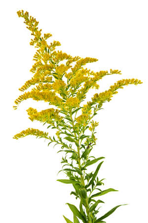 allergens: Blooming goldenrod plant isolated on white background Stock Photo