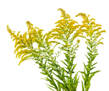 Blooming goldenrod plant isolated on white background Stock Photo