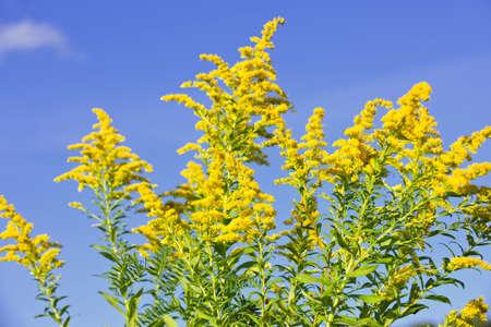 alergenos: Florecimiento de planta de Solidago, sobre fondo de cielo azul