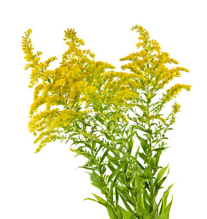 Blooming goldenrod plant isolated on white background Banco de Imagens