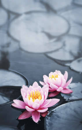 Pink lotus blossoms or water lily flowers blooming on pond Stock Photo - 8066966