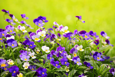 Flowering purple pansies in the garden as floral background