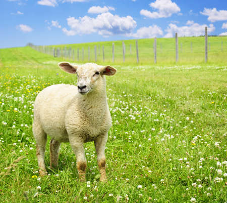 Cute funny sheep or lamb in green meadow photo