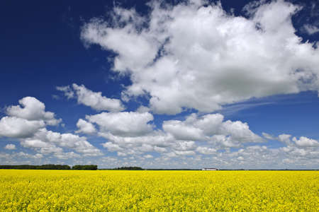 Agricultural landscape of canola or rapeseed farm field in Manitoba, Canada photo