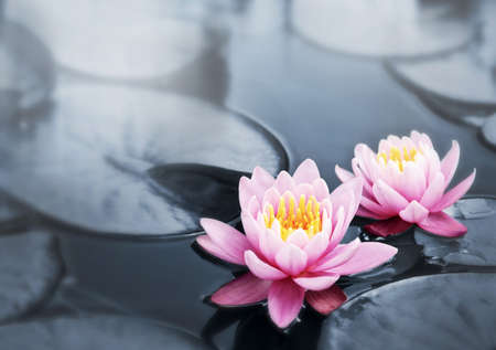 lily pad: Pink lotus blossoms or water lily flowers blooming on pond