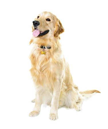 Golden retriever huisdier hond vergadering geïsoleerd op witte achtergrond Stockfoto