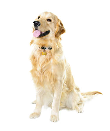 dog tag: Golden retriever pet dog sitting isolated on white background