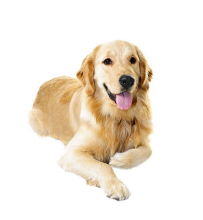 golden retriever puppy: Golden retriever pet dog laying down isolated on white background Stock Photo