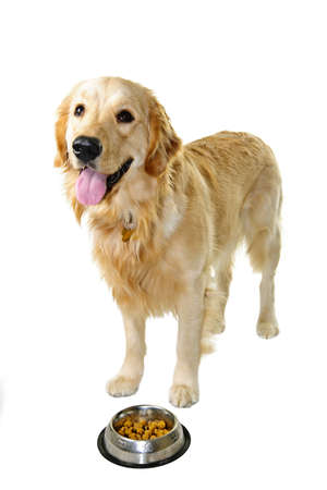 Golden retriever pet dog standing at food dish isolated on white background photo