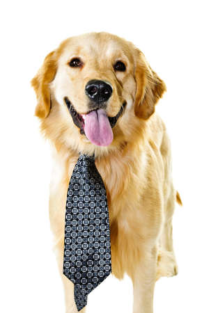 Funny golden retriever dog wearing tie isolated on white background photo