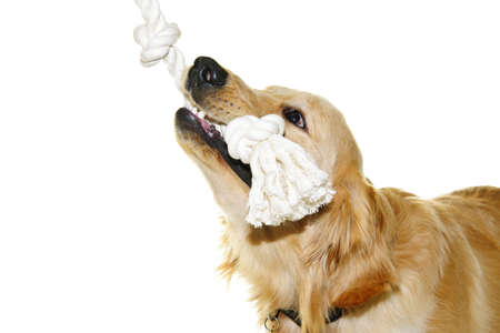 Playful golden retriever pet dog biting rope toy isolated on white background photo