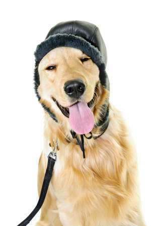white winter: Funny golden retriever dog wearing winter hat  isolated on white background