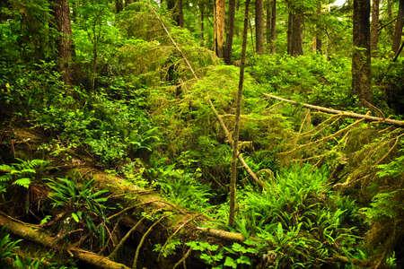 hemlock: Follaje exuberante de bosque templado de lluvia. Parque nacional Pacific Rim, Columbia Británica, Canadá