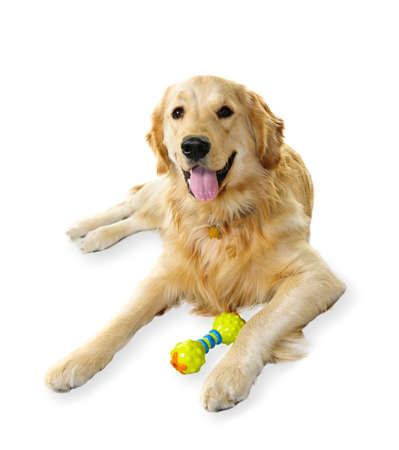 Golden retriever pet dog laying down with toy isolated on white background